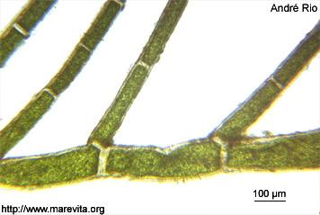 Cladophora dalmatica 02_cla_dal_ar