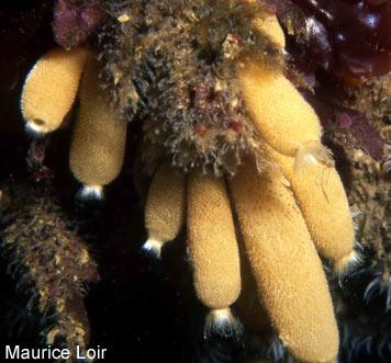 Ml >> Index of /donnees/Porifera/Calcarea/Calcaronea/Leucosolenida/Sycettidae/Sycon/Sycon ciliatum